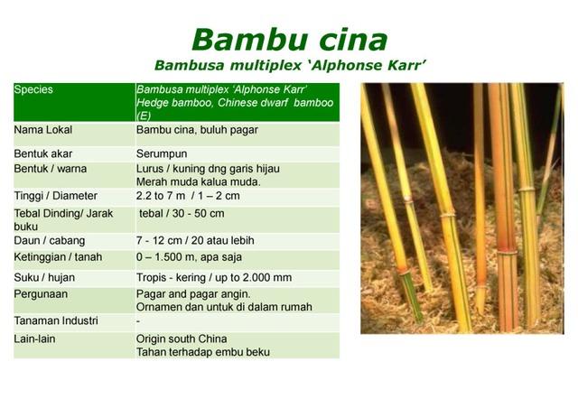 bambu kuning cina